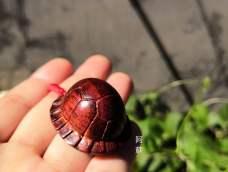 小叶紫檀乌龟壳子😂😂😂