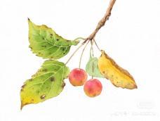 水彩海棠果